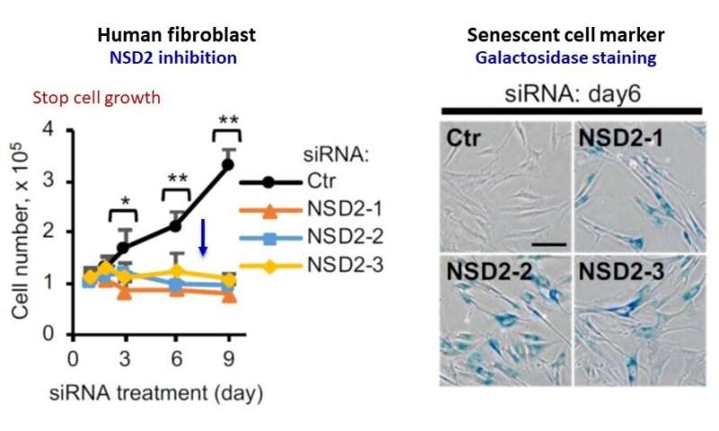 NSD2 enzyme appears to prevent cellular senescence