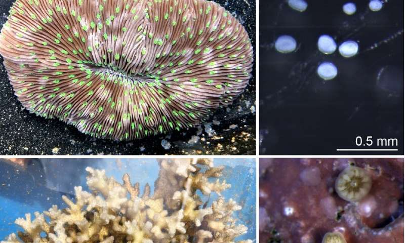 Nutrient pollution and ocean warming negatively affect early life of corals