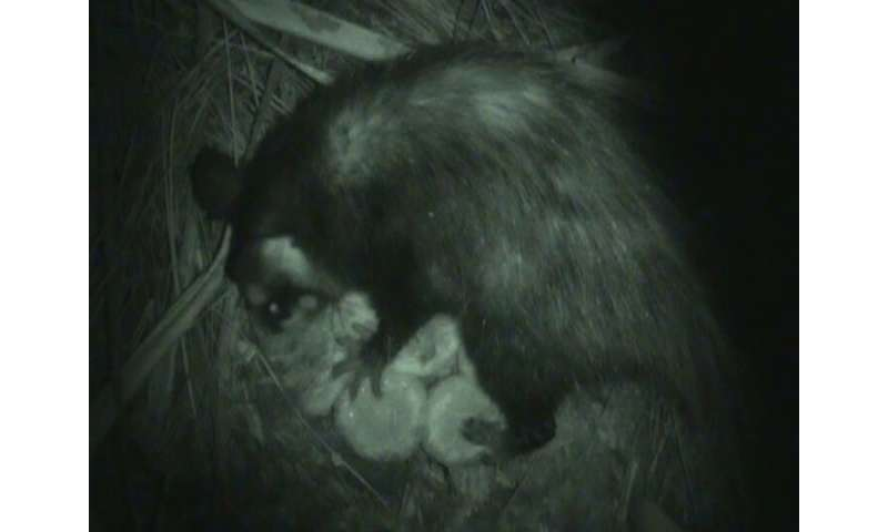 Pollinating opossums confirm decades-long theory