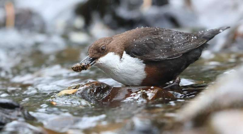 Pollutants banned for over 30 years linger in UK rivers – our wildlife is the evidence
