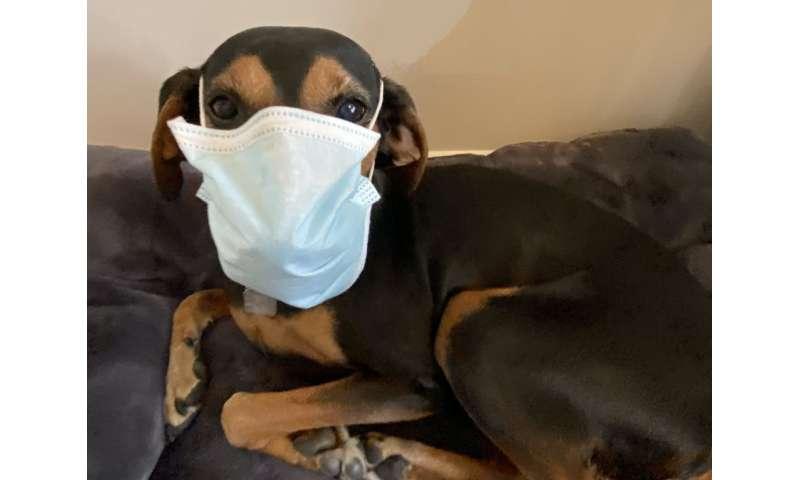 Cachorros y agotamiento: el impacto del coronavirus en los veterinarios
