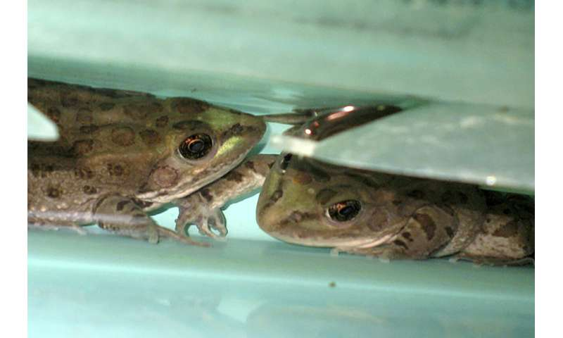 Rare leopard frog found beyond its known range in Southwest