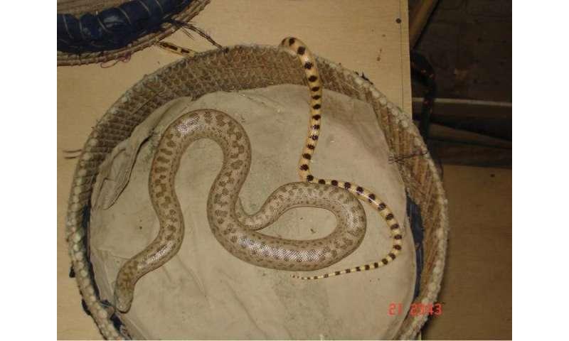 Reptile poaching in Balochistan (Pakistan) is on a decreasing trend but still troublesome