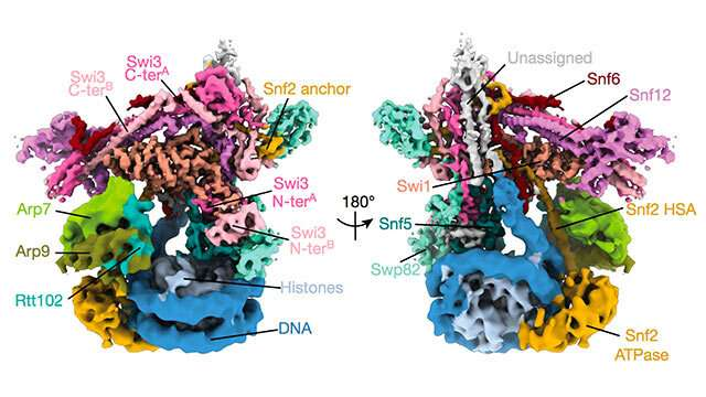 Researchers map structure of key chromatin-remodeling complex