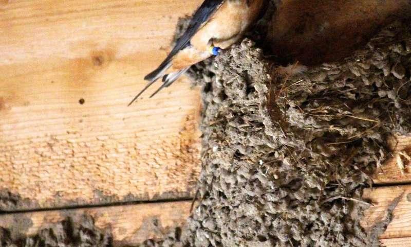 Resident parasites influence appearance, evolution of barn ...
