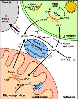 Revisiting energy flow in photosynthetic plant cells