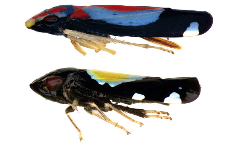 Second of its kind 'sharpshooter' leafhopper from Brazil 'strikes' with its colouration