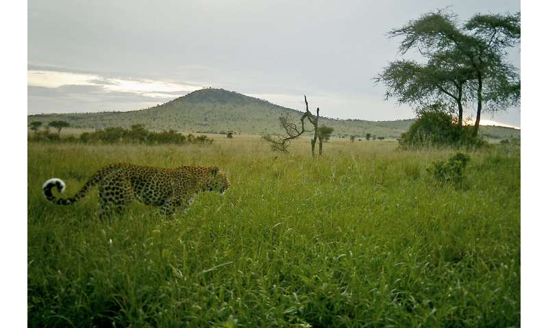 Serengeti leopard population densities healthy but vary seasonally, study finds