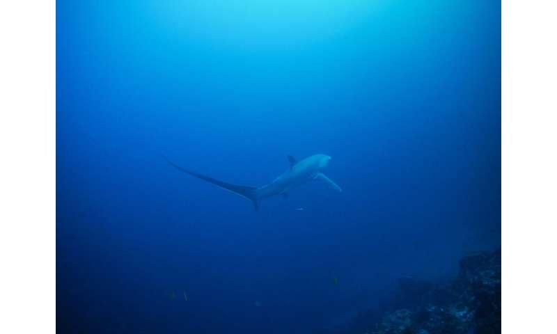 Il divieto di cattura degli squali è in parte in vigore