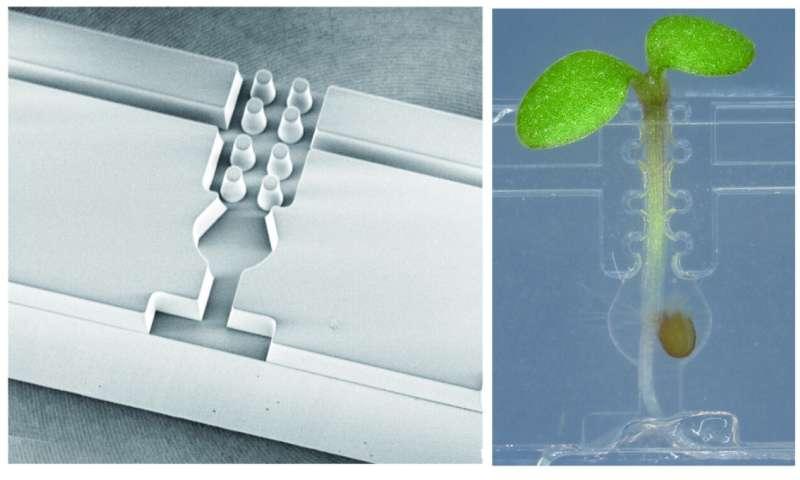 El pequeño recipiente transparente mejora el microinjerto de la planta.