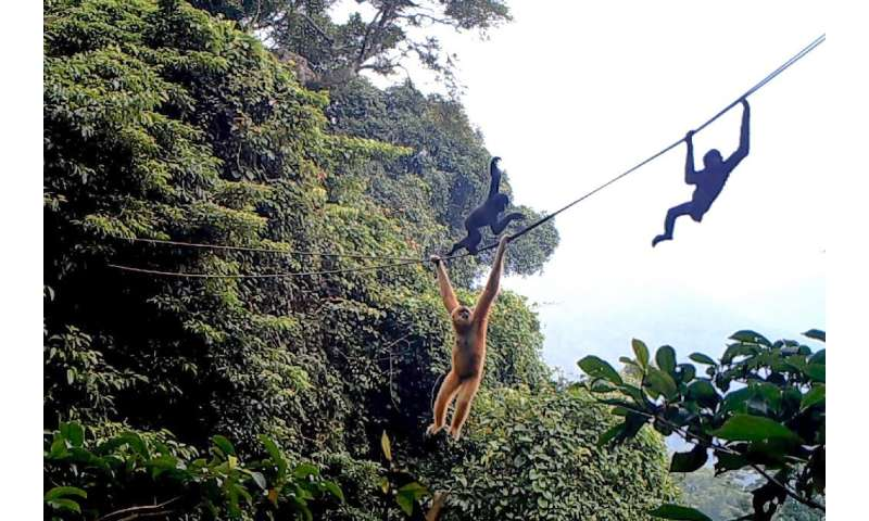 Some Hainan gibbons strode across the mountaineering-grade ropes like tight-rope walkers, while others moved underneath, swingin