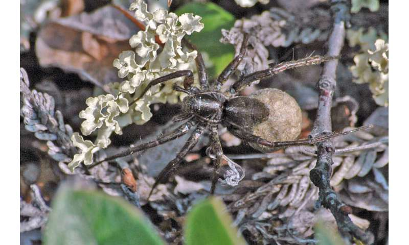 Spider baby boom in a warmer Arctic