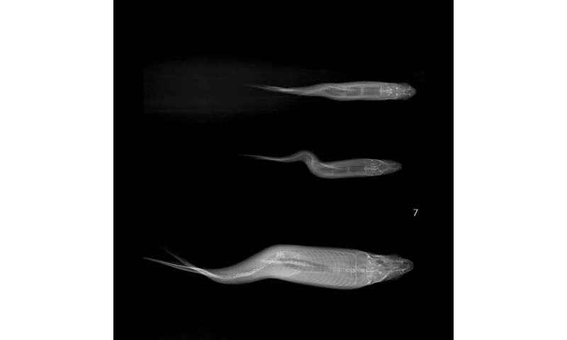Deformidades da coluna vertebral em peixes delta de Sacramento-San Joaquin ligados a selênio mineral tóxico