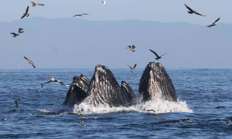 Study connects marine heat wave with spike in whale entanglements