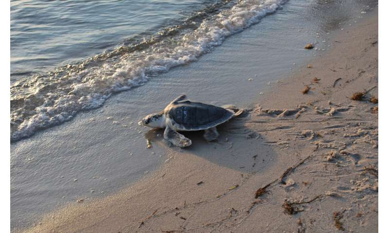 Study evaluates stress level of rehabilitated sea turtles during transport
