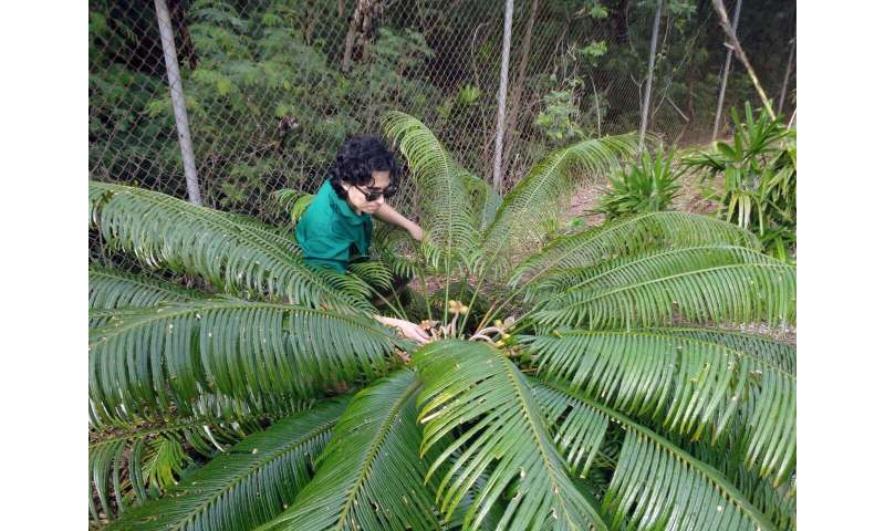 Study finds go-to hormone for cycad propagation ineffective