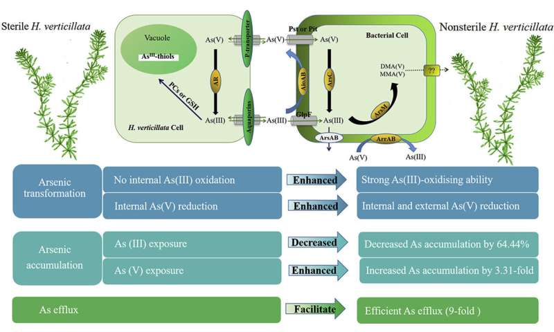 Study Highlights the Role of Epiphytic Bacteria in Arsenic Metabolism in Hydrilla verticillata