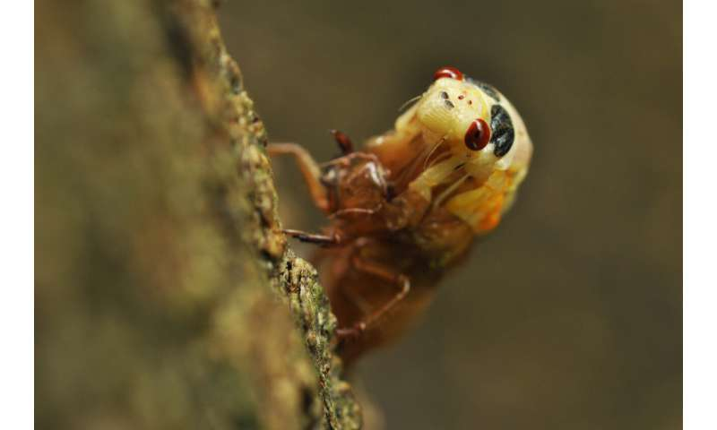 Study of 17-year cicada choruses reveals dependence on light levels