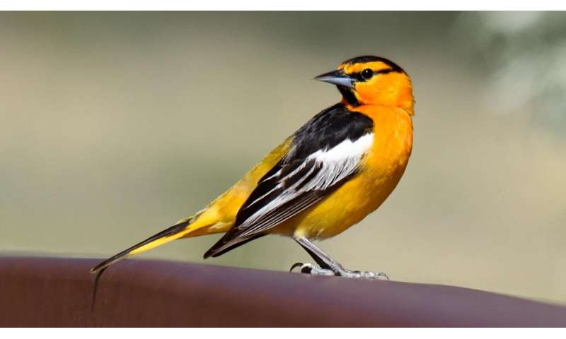 Study: Oriole hybridization is a dead end