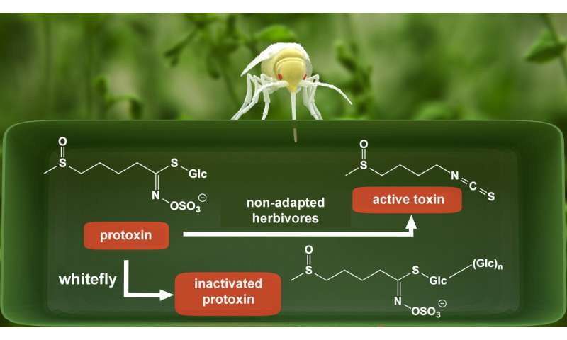 Surplus sugar helps whiteflies protect the plant