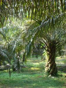 Sustainable palm oil? How environmental protection and poverty reduction can be reconciled