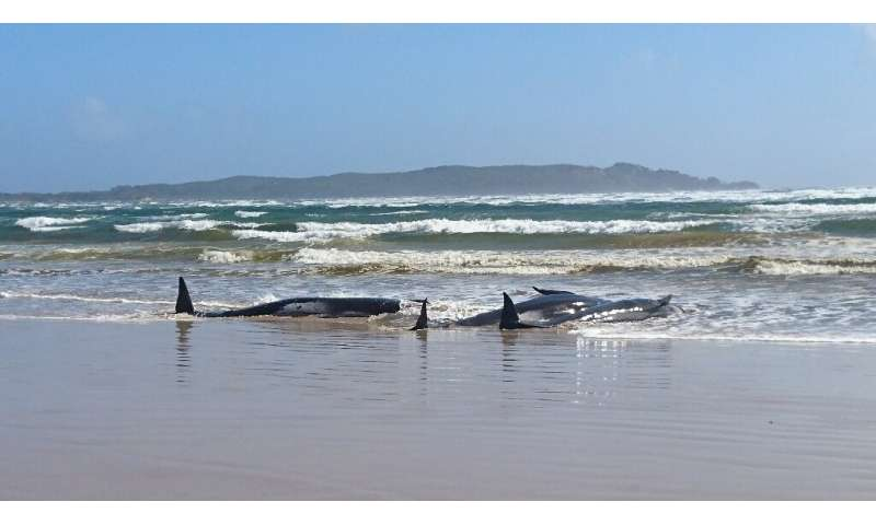 The causes of mass whale strandings remain unknown—even to scientists who have been studying the phenomenon for decades