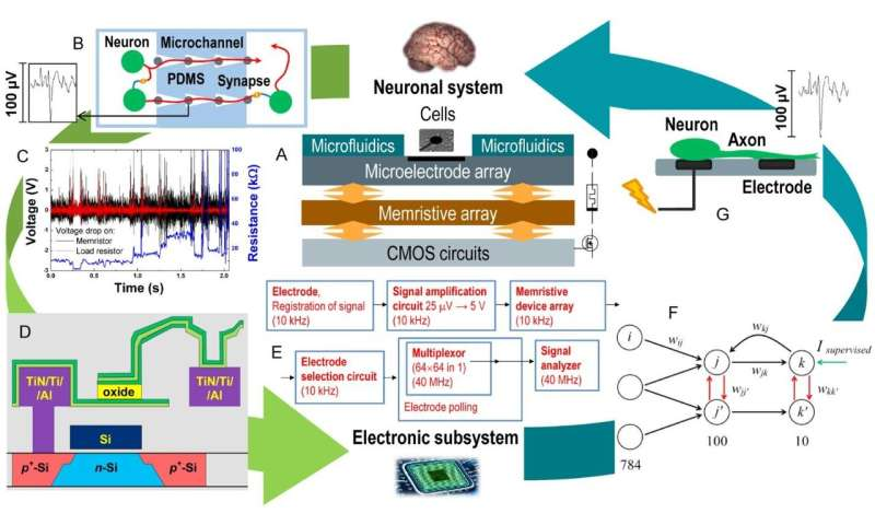 The concept of creating &laquobrain-on-chip» revealed