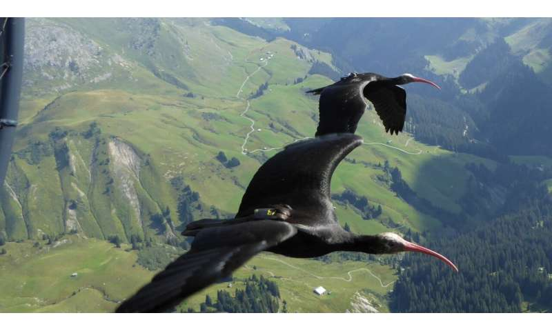The efficiency of migratory birds' flight formations