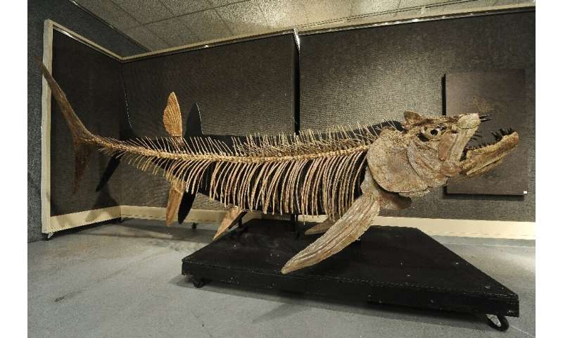 The fossilized remains of this Xiphactinus - similar to the one found in Argentina - was discovered in the US state of Kansas an