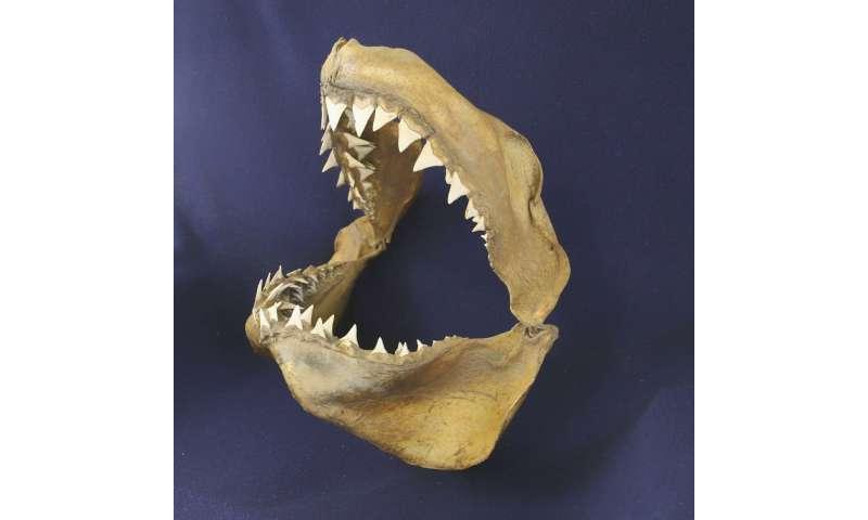O Grande Tubarão Branco e o Mediterrâneo: uma história de 3,2 milhões de anos