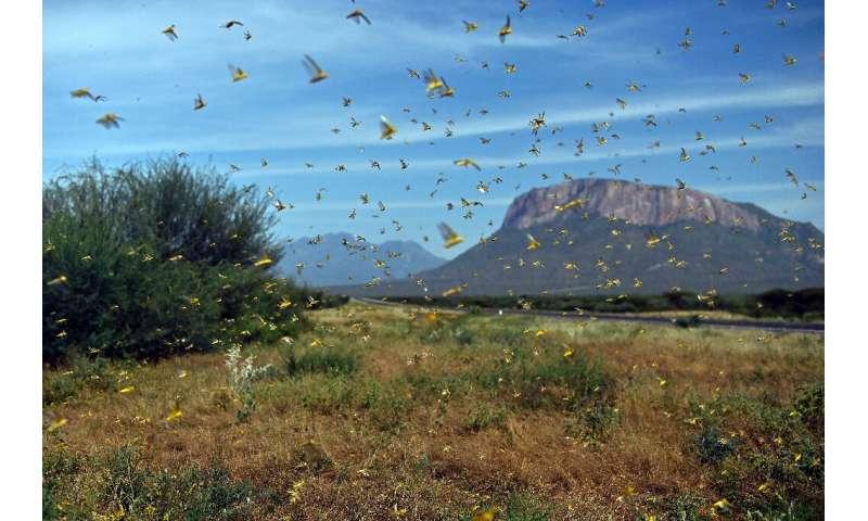 The massive swarms entered Kenya in December