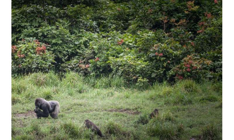 There are fears that the coronavirus could be spread from humans to gorillas in Gabon's parks