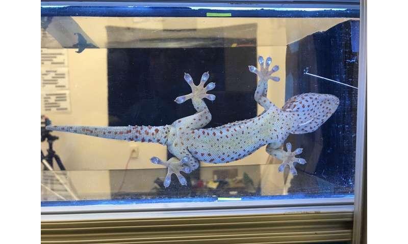 To climb like a gecko, robots need toes