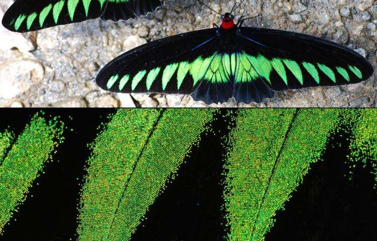 To make ultra-black materials that won't weigh things down, consider the butterfly