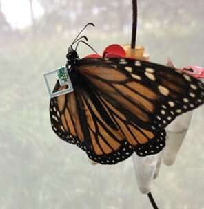 Tracking monarch butterfly migration with the world's smallest computer