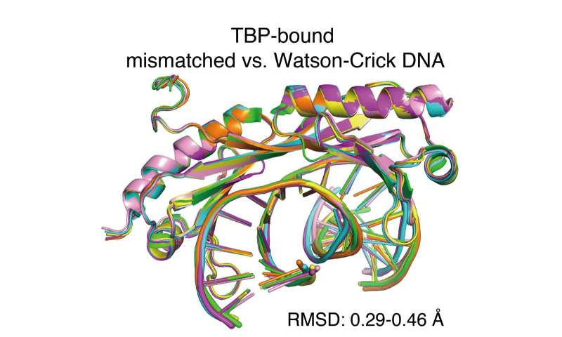 Transcription factors may inadvertently lock in DNA mistakes