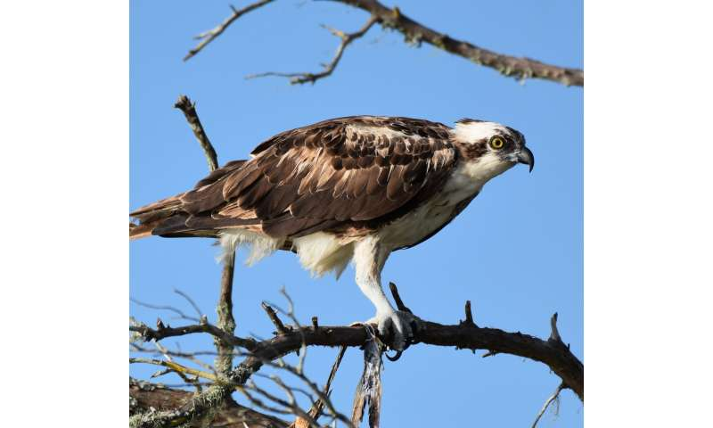 UCF study finds microplastics in Florida's birds of prey for 1st time