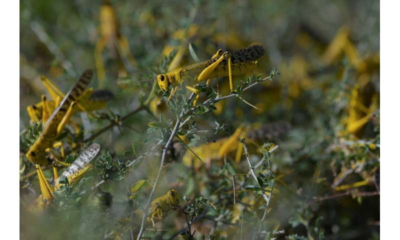 UN food experts say locust numbers may grow 500 times by June