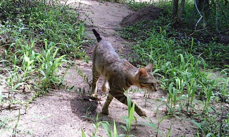 Unraveling the puzzle of Madagascar's forest cats