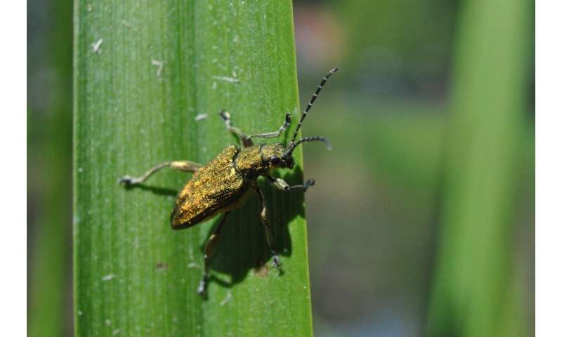 Versatile symbionts: Reed beetles benefit from bacterial helpers through all life stages