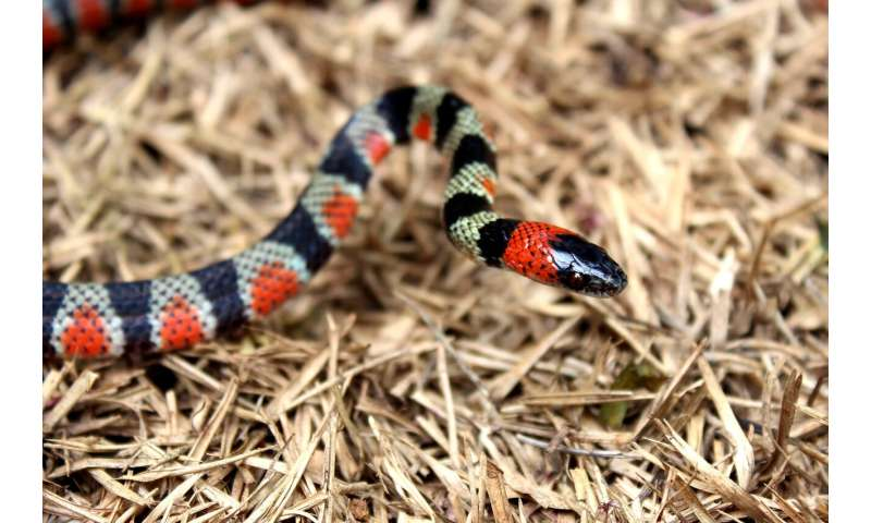 Vibes before it bites: 10 types of defensive behaviour for the false coral snake