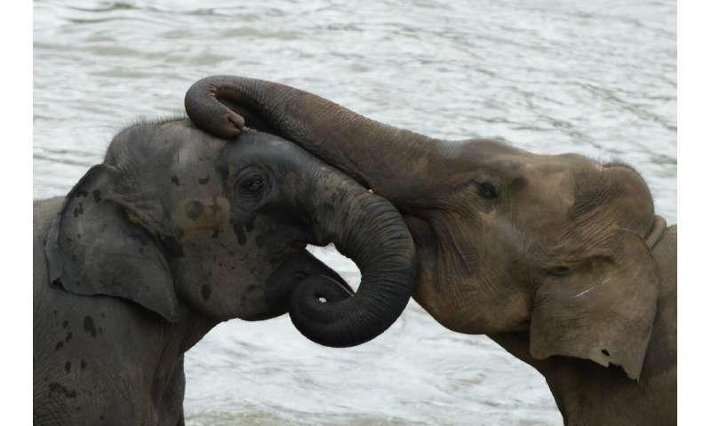 Virus gives Sri Lanka's threatened elephants a reprieve
