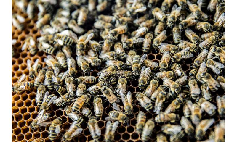 Virus-infected honey bees more likely to gain entrance to healthy hives