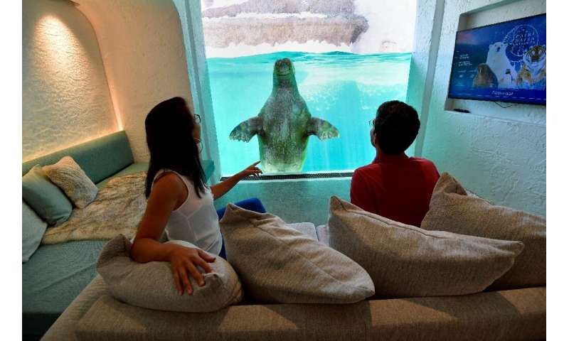 Visitors look at a walrus from their hotel room at the Pairi Daiza animal park in Brugelette, on July 30, 2020.