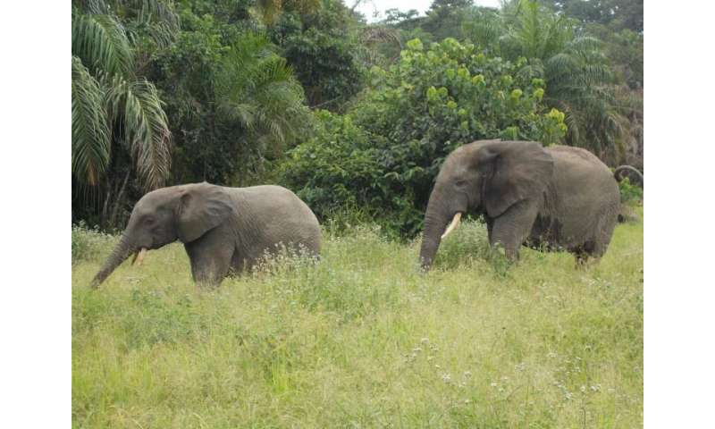 West Africa walkabout—The further adventures of the elephant brothers