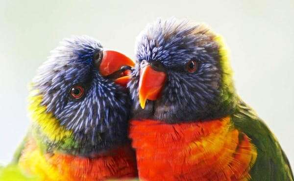 What Australian birds can teach us about choosing a partner and making it last