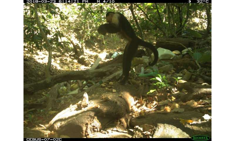 White-faced capuchin monkeys come down from the trees on Panama's Coiba Island