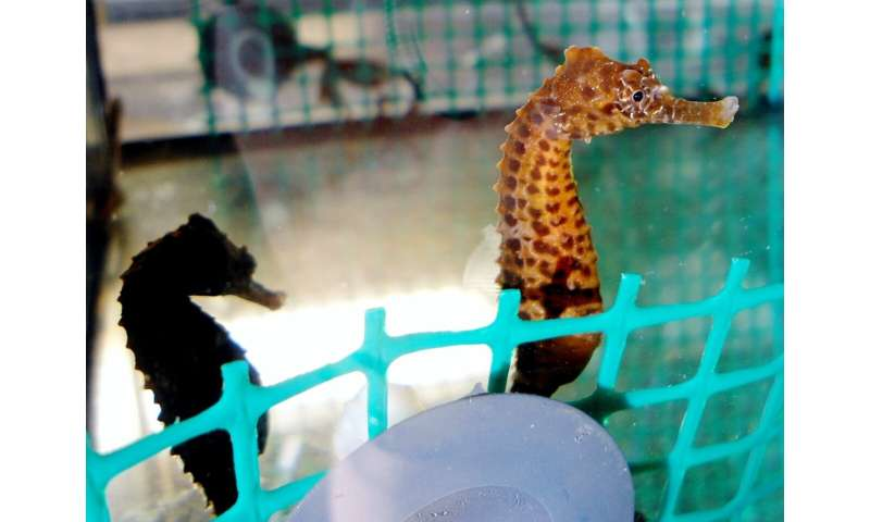 Who's your daddy? Male seahorses transport nutrients to embryos