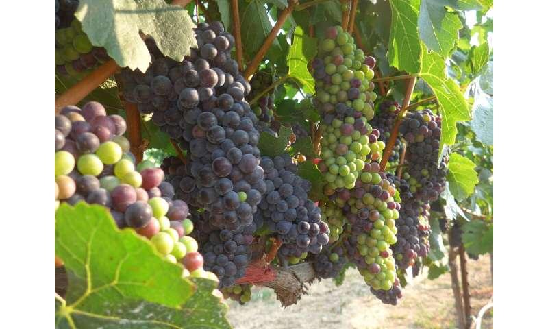 Las regiones vitivinícolas podrían reducirse drásticamente con el cambio climático a menos que los productores intercambien variedades