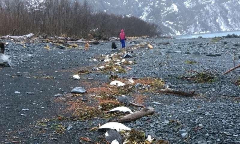 Worst marine heatwave on record killed one million seabirds in North Pacific Ocean
